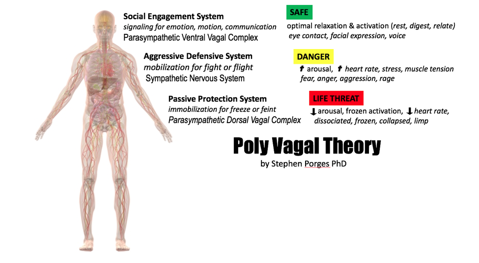 PORGES\' Poly-Vagal Theory: relaxing our face, chest & belly indicate ...